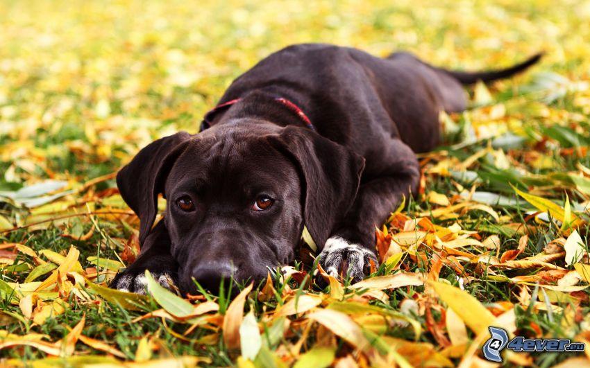 Schwarzer Labrador, Herbstlaub