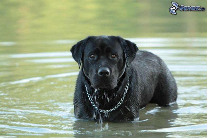 Schwarzer Labrador, Hund im Wasser