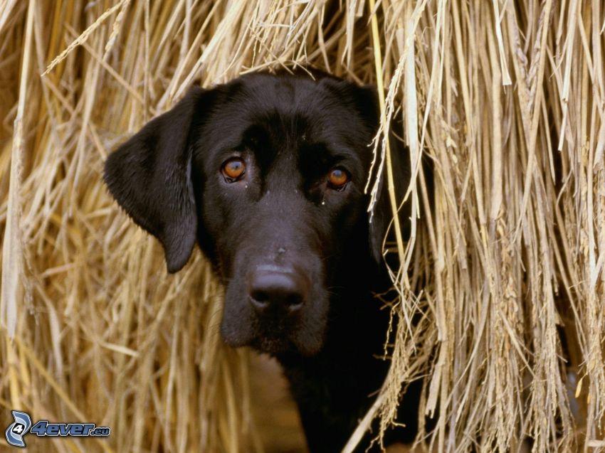 Schwarzer Labrador, Stroh