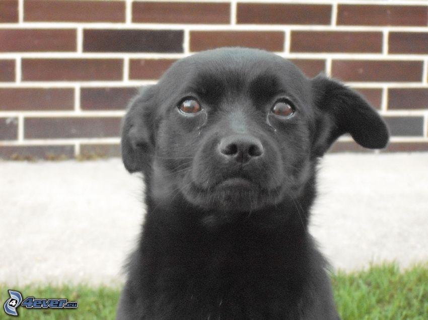 Schwarzer Labrador, Welpe, Ohr