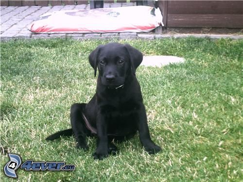 schwarzer Welpe, Labrador Welpe