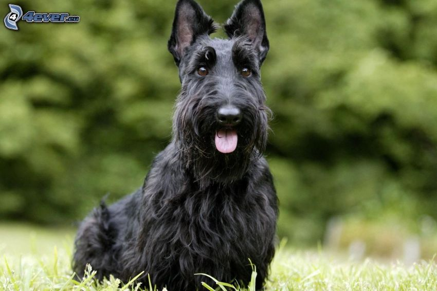 Scottish Terrier, hängende Zunge