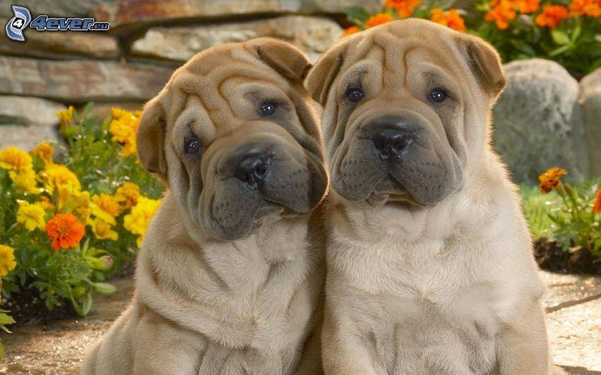 Shar Pei Welpen, zwei Hunde, Tagetes