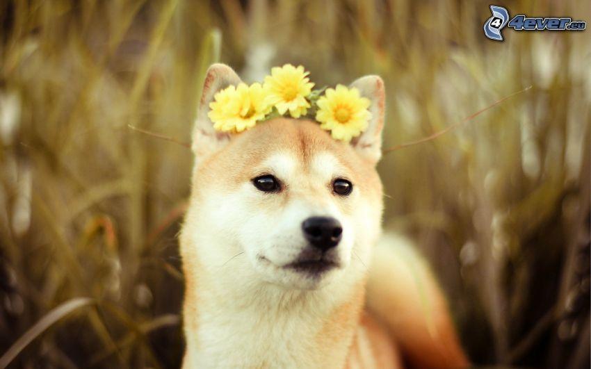 Shiba-inu, gelbe Blumen
