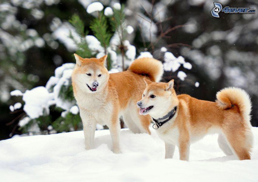 Shiba-inu, Schnee