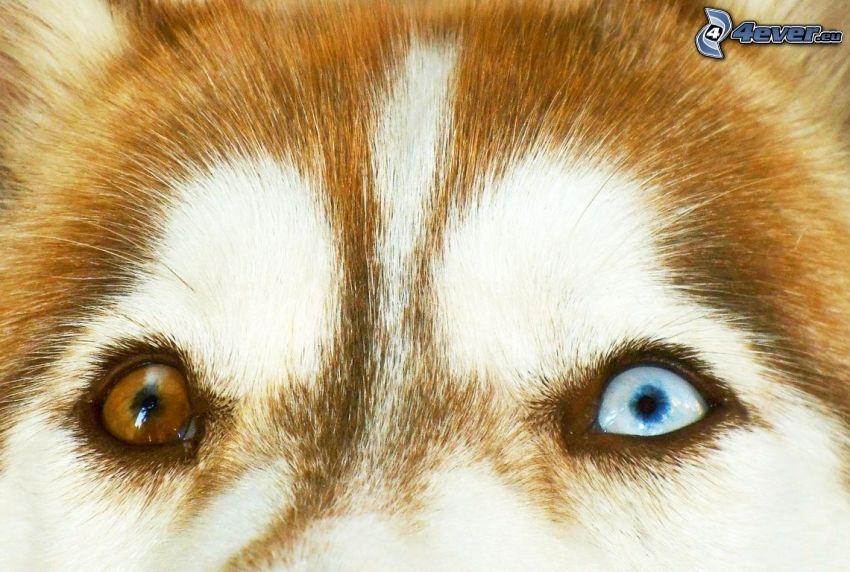 Siberian Husky, Augen