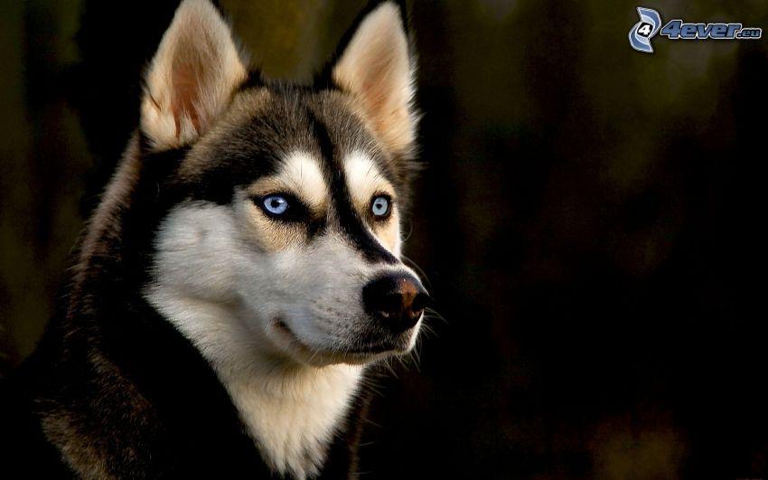 Siberian Husky, blaue Augen