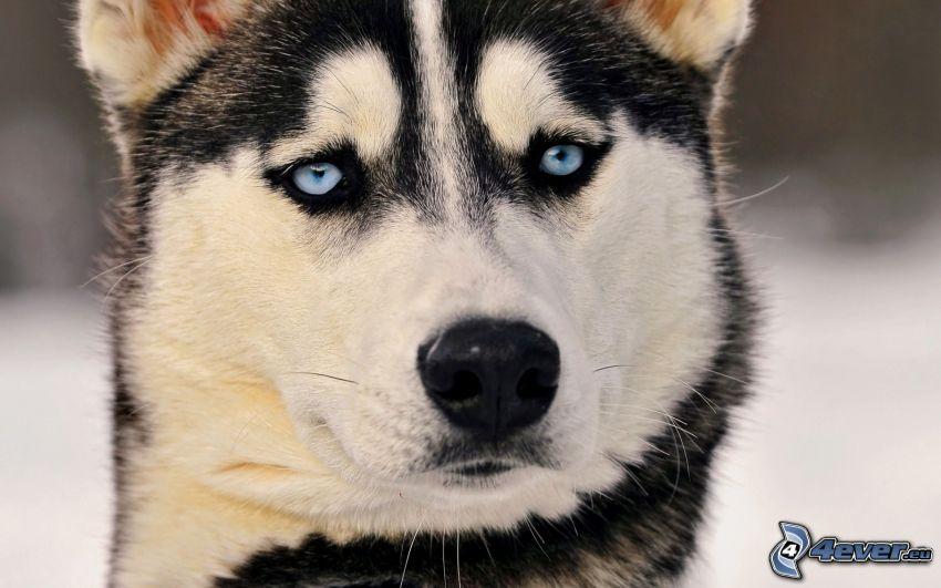 Siberian Husky, Blick