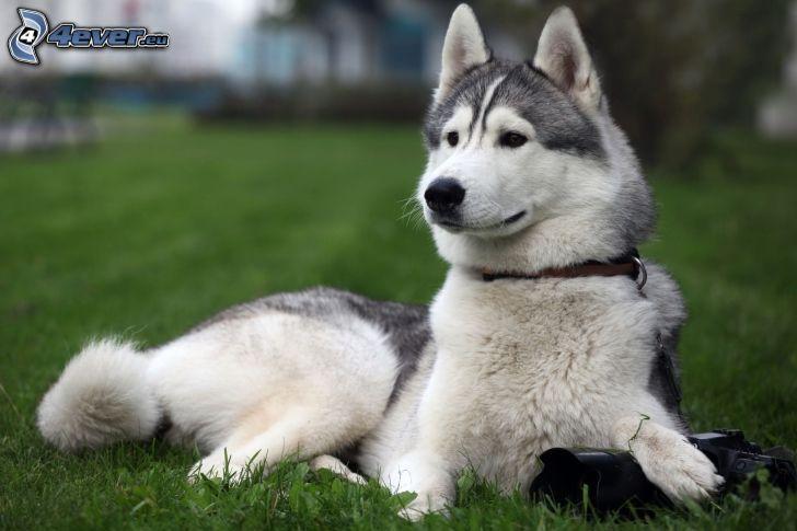 Siberian Husky, Kamera