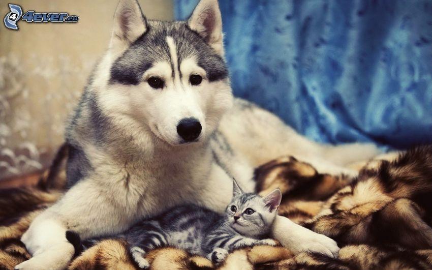 Siberian Husky, kleines Kätzchen, Decke