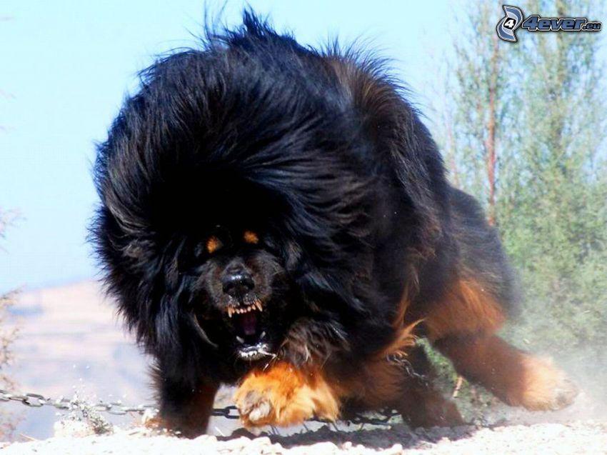 Tibet-Dogge, Wut
