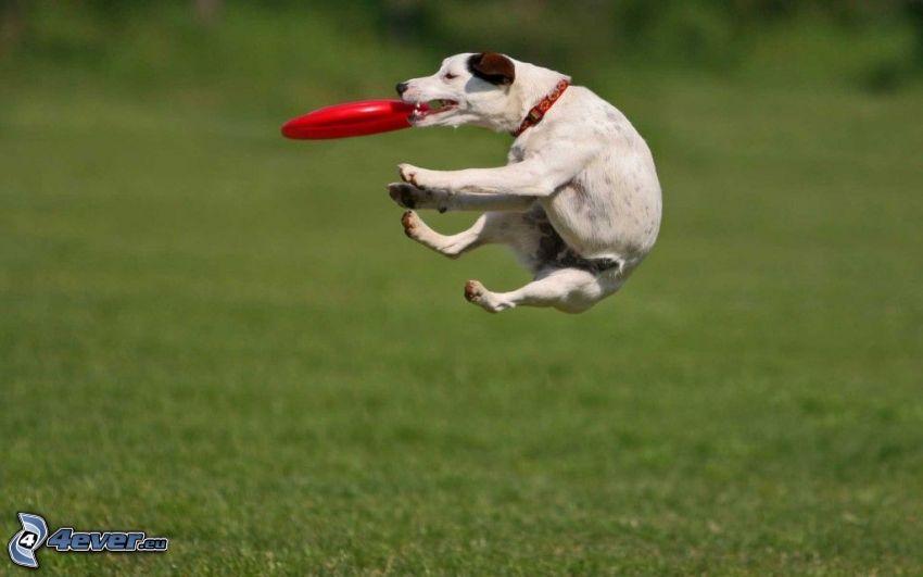 Weißer Hund, fliegender Teller, Sprung