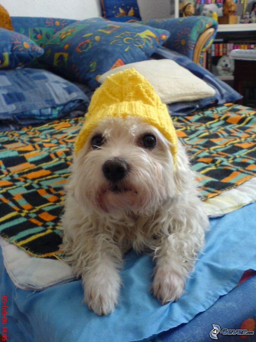 Weißer Hund, Hund auf dem Bett, Mütze