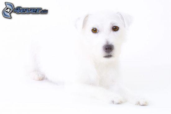 Weißer Hund
