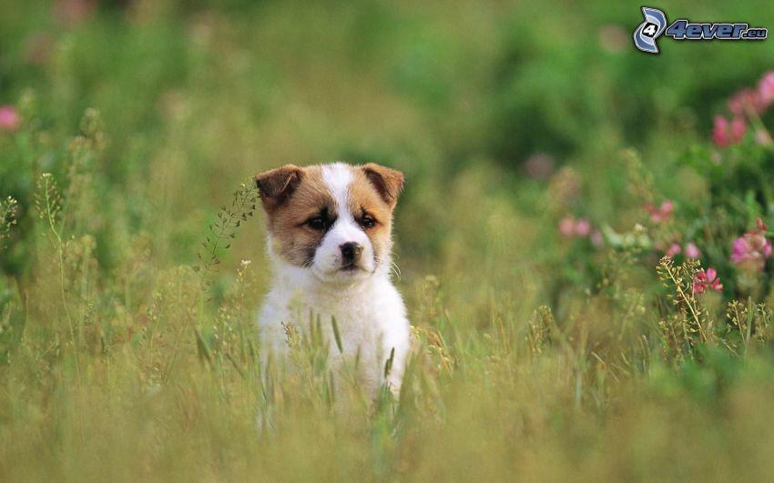 Welpe im Gras