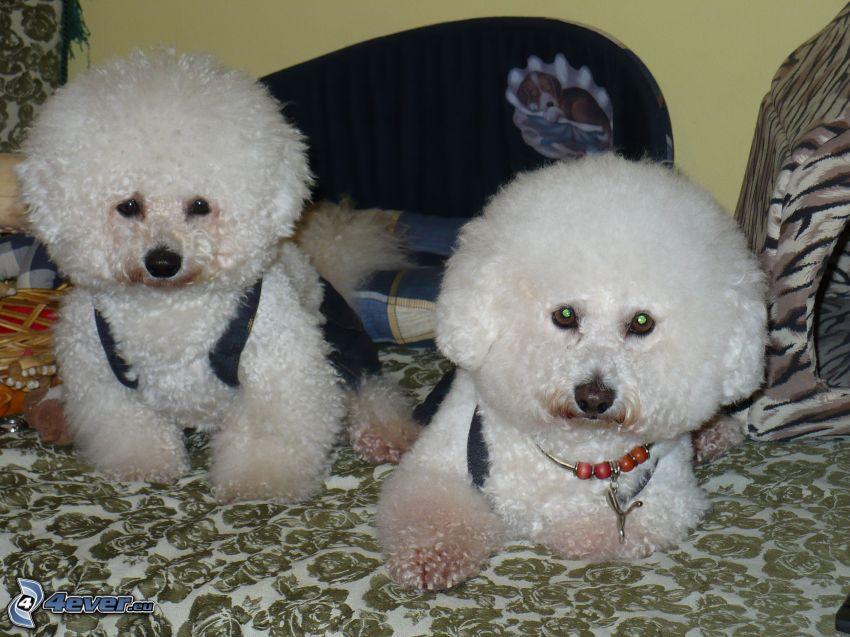 Welpen, Weißer Hund