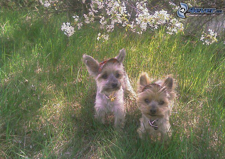 Yorkshire Terrier, Gras
