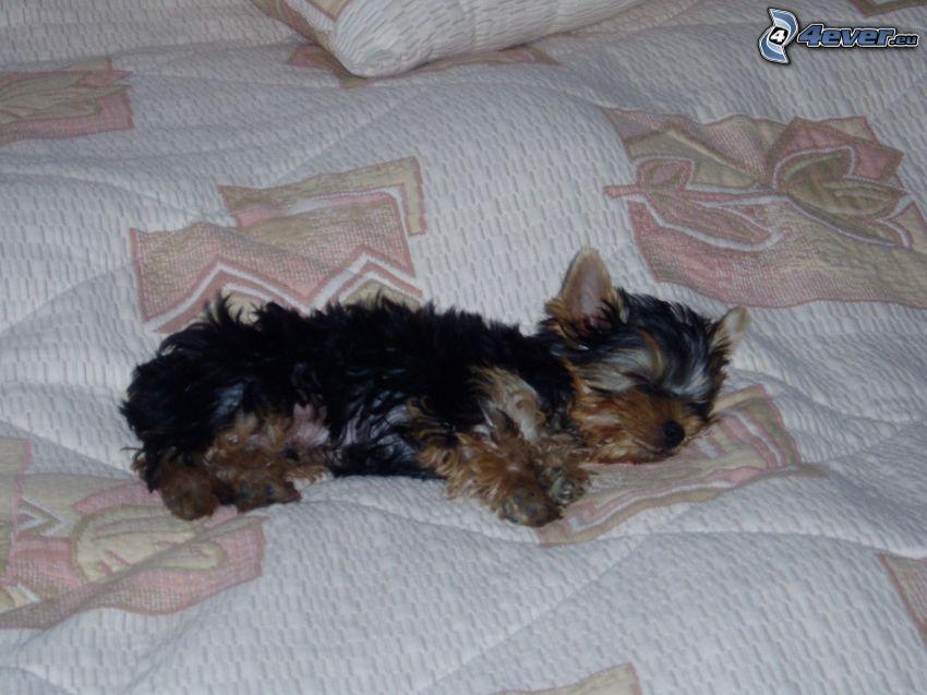 Yorkshire Terrier, Hund auf dem Bett, schlafender Hund