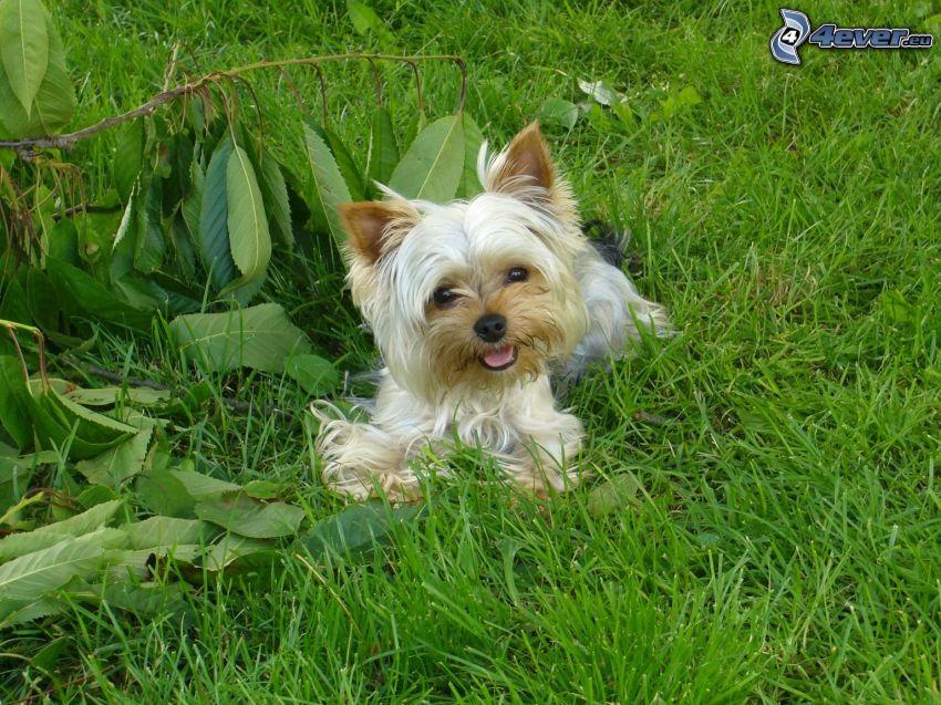 Yorkshire Terrier, Hund auf dem Gras