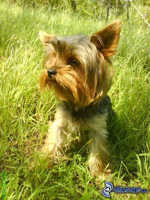 Yorkshire Terrier, Hund im Gras
