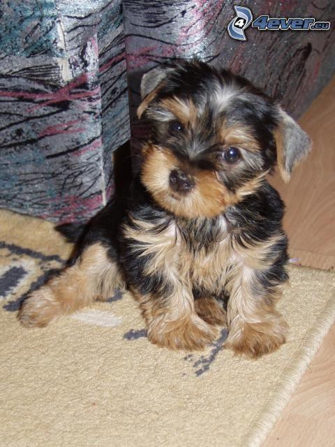 Yorkshire Terrier, kleines schwarzes Welpchen, Teppich