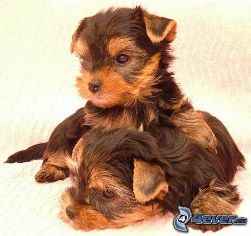Yorkshire Terrier, Welpe