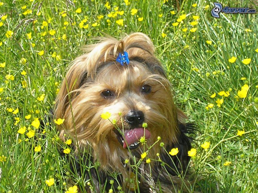 Yorkshire Terrier, Wiese, gelbe Blumen