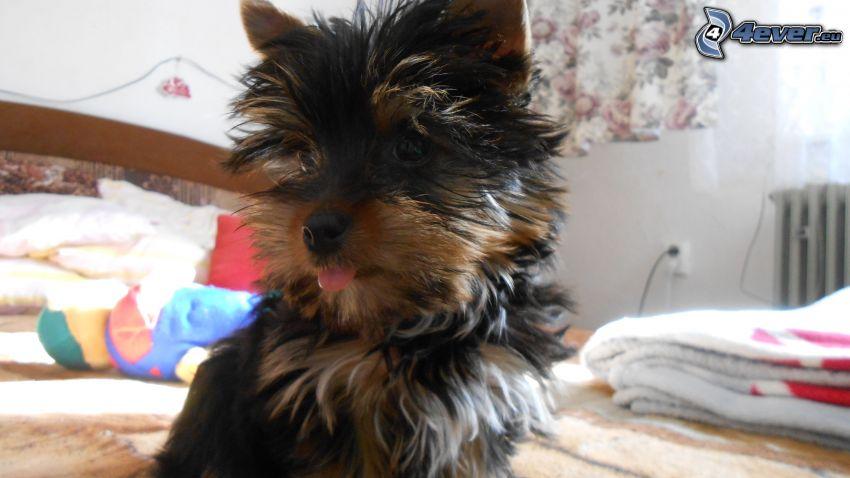 Yorkshire Terrier auf der Couch, hängende Zunge
