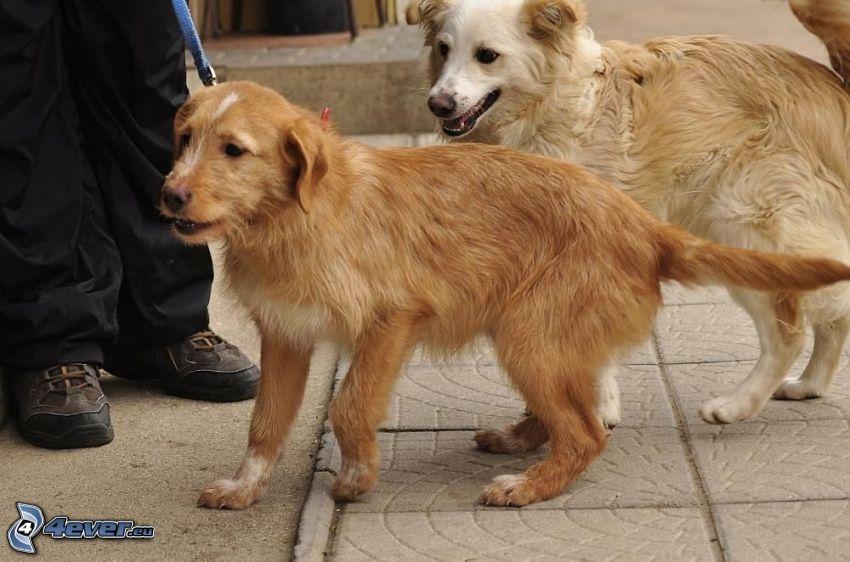 zwei Hunde, brauner Hund