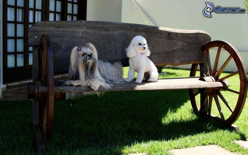 zwei Hunde, haariger Yorkshire Terrier, Pudel, Sitzbank
