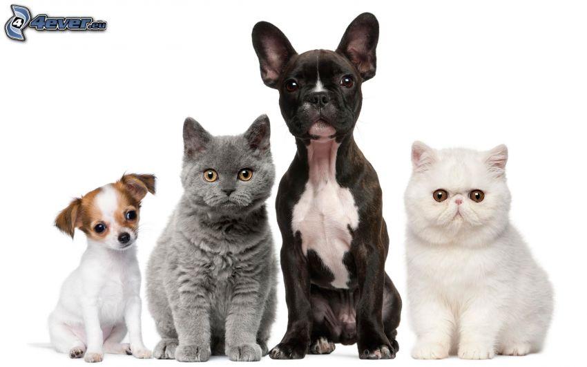 zwei Hunde, Katzen, britisch Kurzhaar, weiße Katze