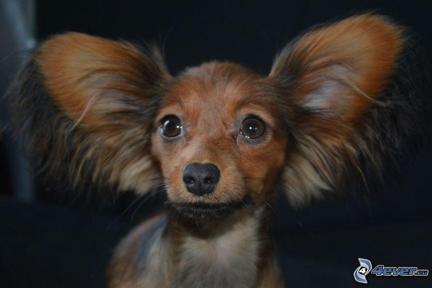 Zwergpinscher, Ohren