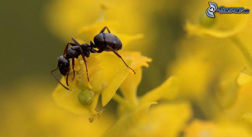Ameise, gelbe Blumen, Makro