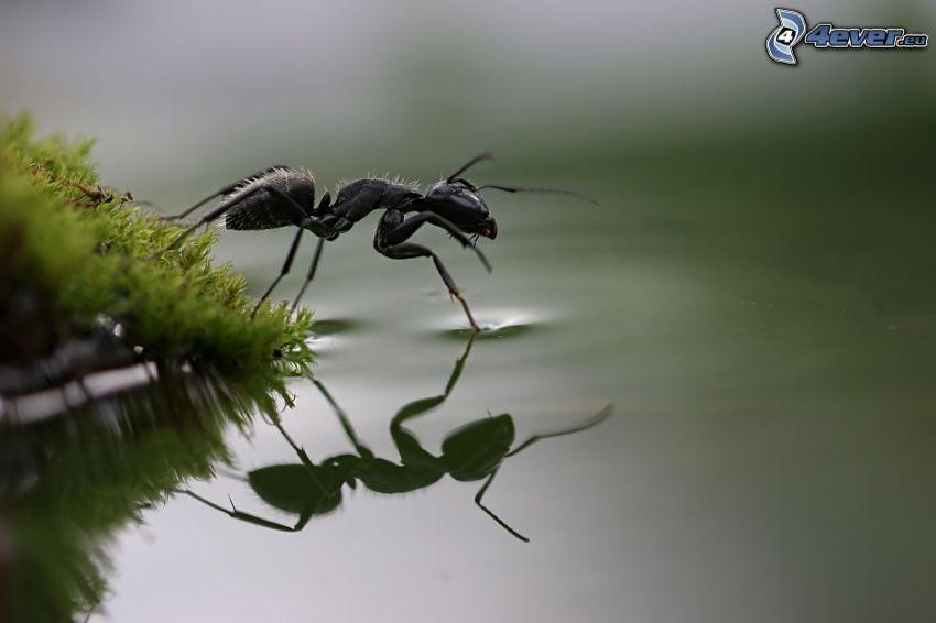 Ameise, Wasser, Spiegelung, Moos