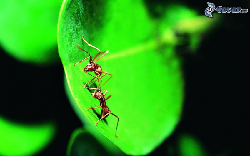 Ameisen, grünes Blatt, Makro