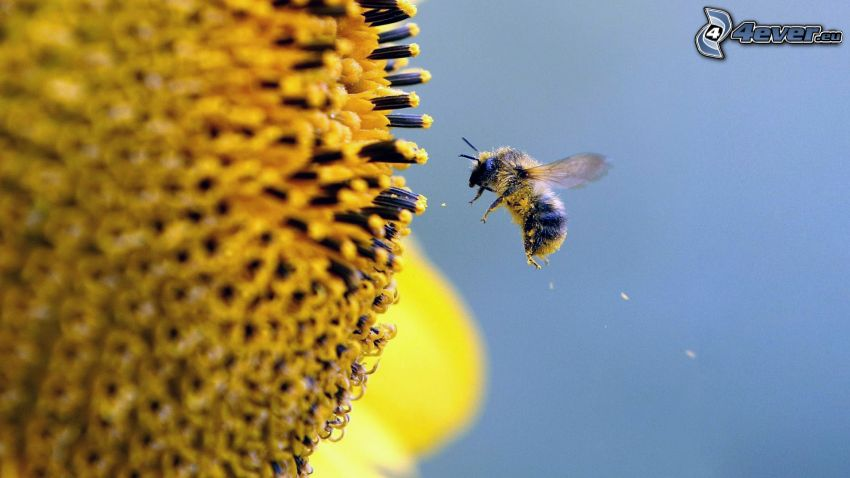Biene, Blume