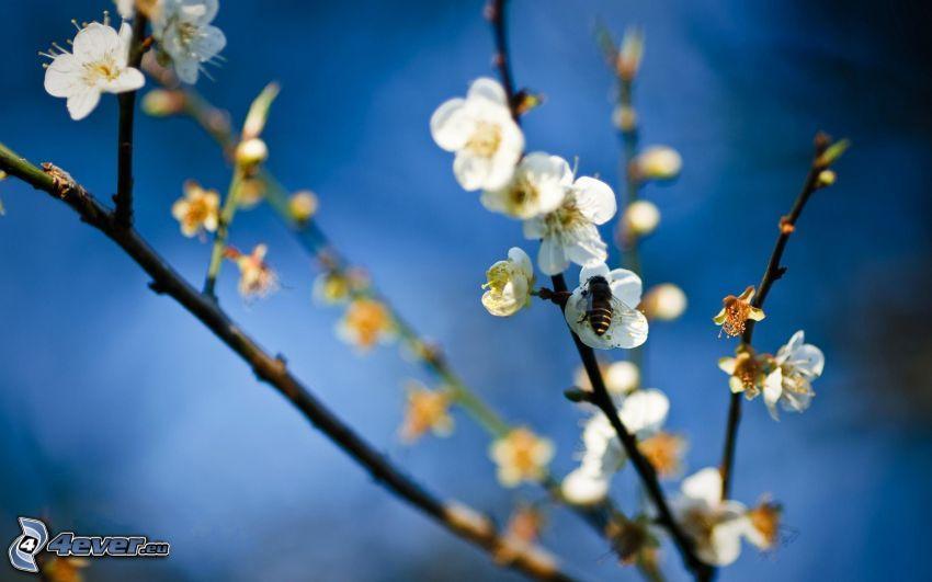 Biene auf Blumen, aufgeblühter Ast, weiße Blumen