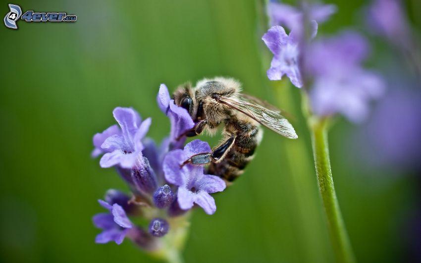 Biene auf der Blume, blaue Blume