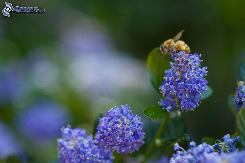 Biene auf der Blume, blaue Blumen
