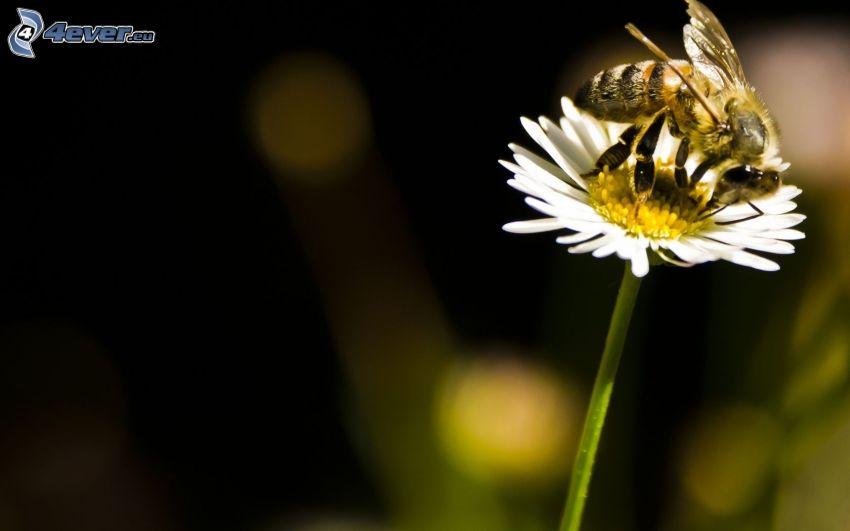 Biene auf der Blume, Gänseblume