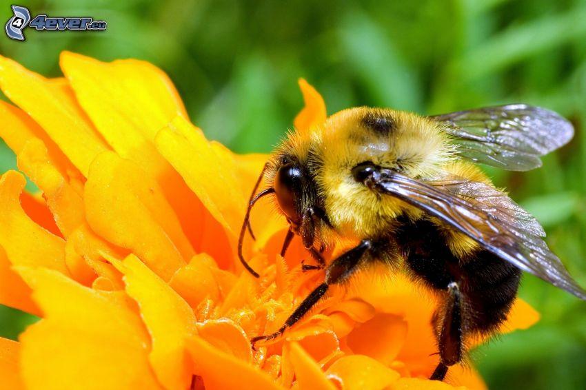 Biene auf der Blume, gelbe Blume, Makro