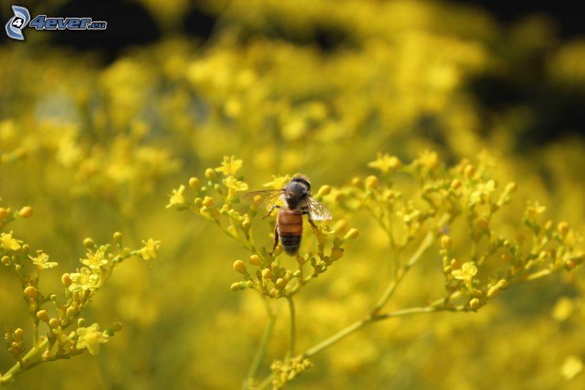 Biene auf der Blume, gelbe Blumen