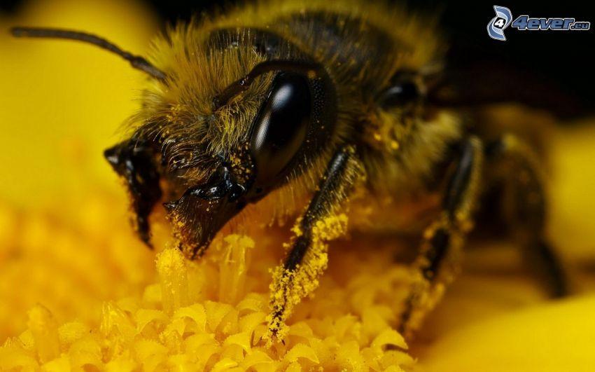 Biene auf der Blume, Makro, gelbe Blume, Pollen