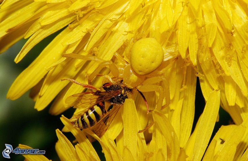 Biene auf der Blume, Spinne, Löwenzahn