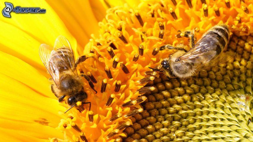 Bienen, Sonnenblume