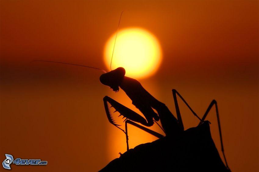 Europäische Gottesanbeterin, Silhouette, orange Sonnenuntergang