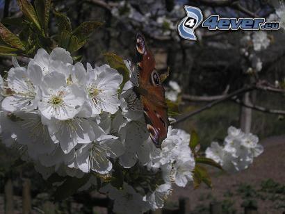 Fleckenfalter Schmetterling, Kirsche, weiße Blume