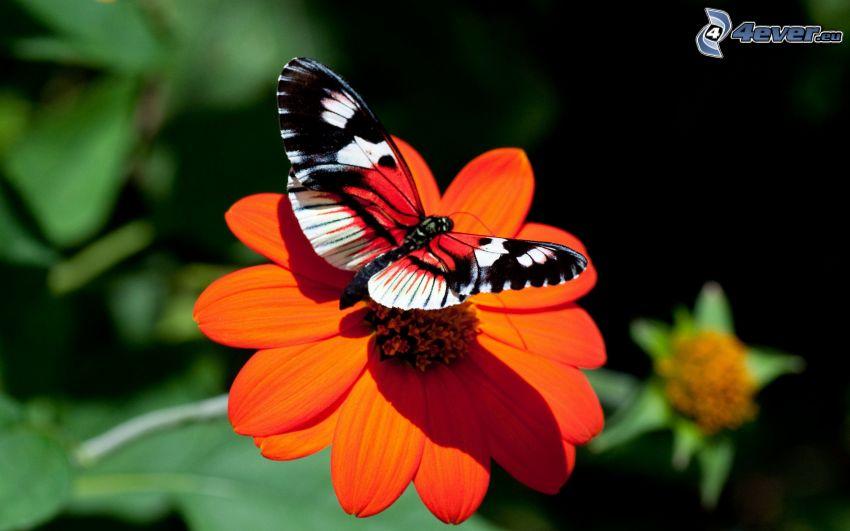 Fleckenfalter Schmetterling, Schmetterling auf der Blume, orange Blume