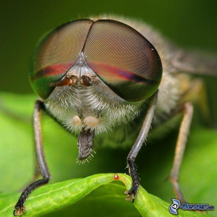 Fliege, Augen, Insekten