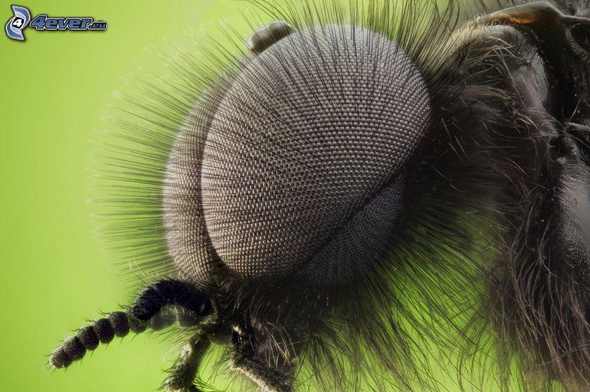 Fliege, Augen